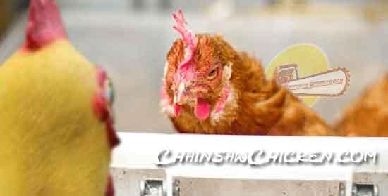 Chicken who?